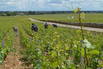 ブドウ畑の作業