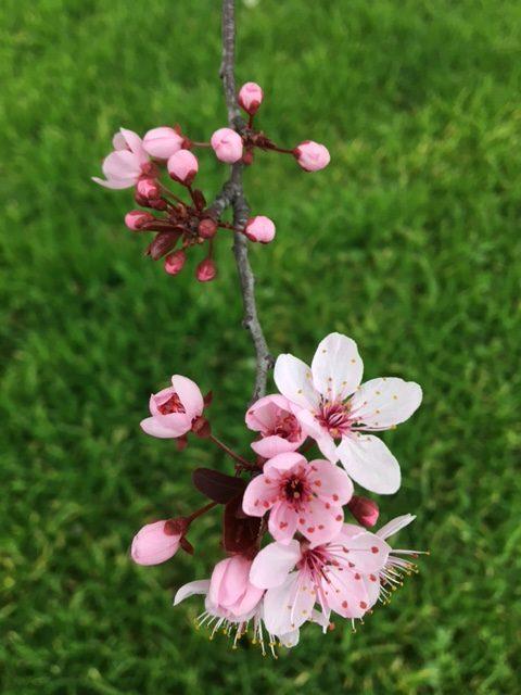 フィレンツェの桜