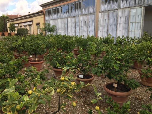 柑橘類の鉢たち